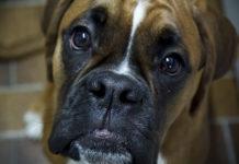 Boxer_Dog_CBD_Today