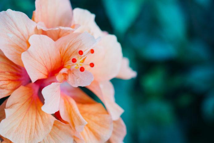 Hawaiian-hemp crops-CBD-CBDToday