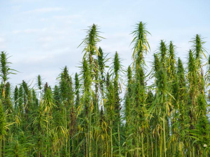 Hemp Farmers-crop-insurance-CBD news-CBDToday