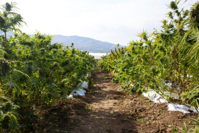 How Much U.S. Farmland Should Be Dedicated to Hemp Crops-CBD news-CBDToday