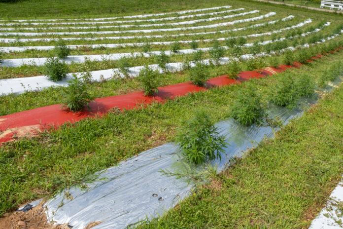 USDA Domestic Hemp Production Guidance Now in Effect-CBD news-CBDToday