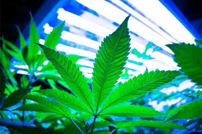 Plant-Optimized-Light-Spectrums-Maximize-Growth-Quality-and-Yield-Kevin-Frender-guest-column-CBDToday